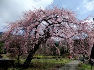 神角地区の垂れ桜