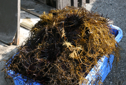 黒ウニの入荷